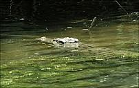 03-crocodile-02-5149.jpg
