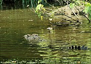 03-crocodile-04-5181.jpg