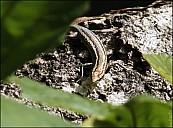 04-lizard-04--4002-abc.jpg