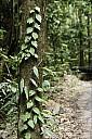 2012-11-xx-Australia-Flora-1519-RainForest-_MG_4206.jpg