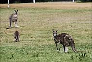 02-kanguroo-741-abc.jpg