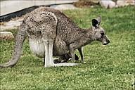 05-kanguroo-908.jpg