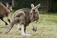 13-kanguroo-832.jpg