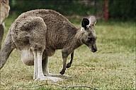 14-kanguroo-833.jpg