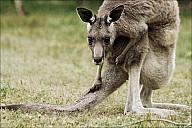 16-kanguroo-839-abc.jpg: 950x634, 291k (2012-12-09, 18:21)