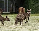 17-kanguroo-846.jpg