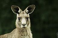 18-kanguroo-851-abc.jpg: 950x634, 202k (2012-12-09, 18:21)