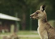 20-kanguroo-868.jpg