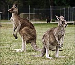 21-kanguroo-860.jpg