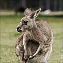 22-kanguroo-861.jpg