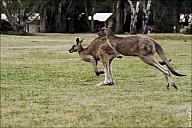 24-kanguroo-880.jpg