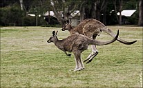 25-kanguroo-881.jpg