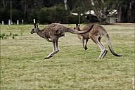 26-kanguroo-882.jpg