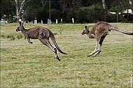 27-kanguroo-883.jpg