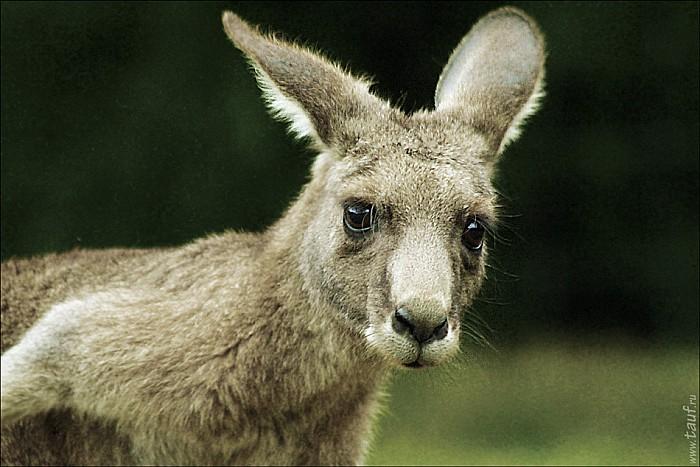 19-kanguroo-853-abc.jpg: 950x634, 227k (2012-12-09, 18:21)