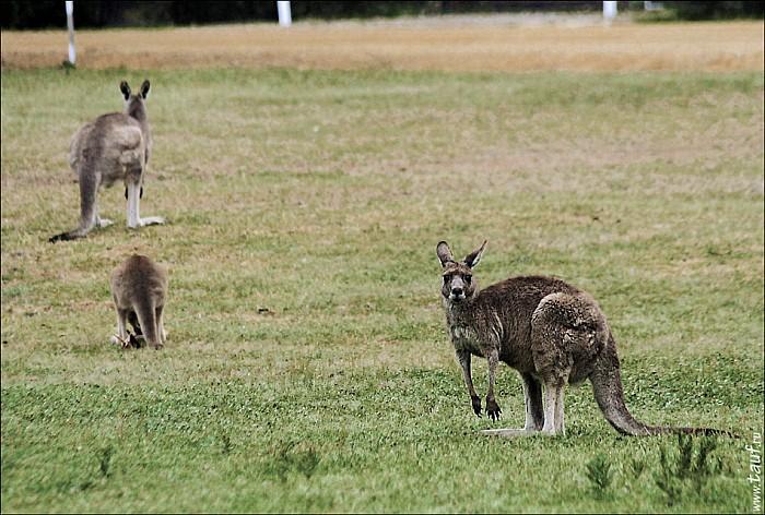 02-kanguroo-741-abc.jpg: 950x641, 301k (2012-12-09, 18:20)
