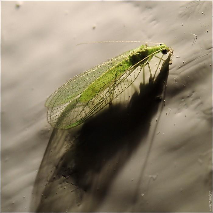 2020-08-10-Chrysopidae-02-8101038-abc.jpg: 1200x1200, 326k (2020-08-15, 12:45)